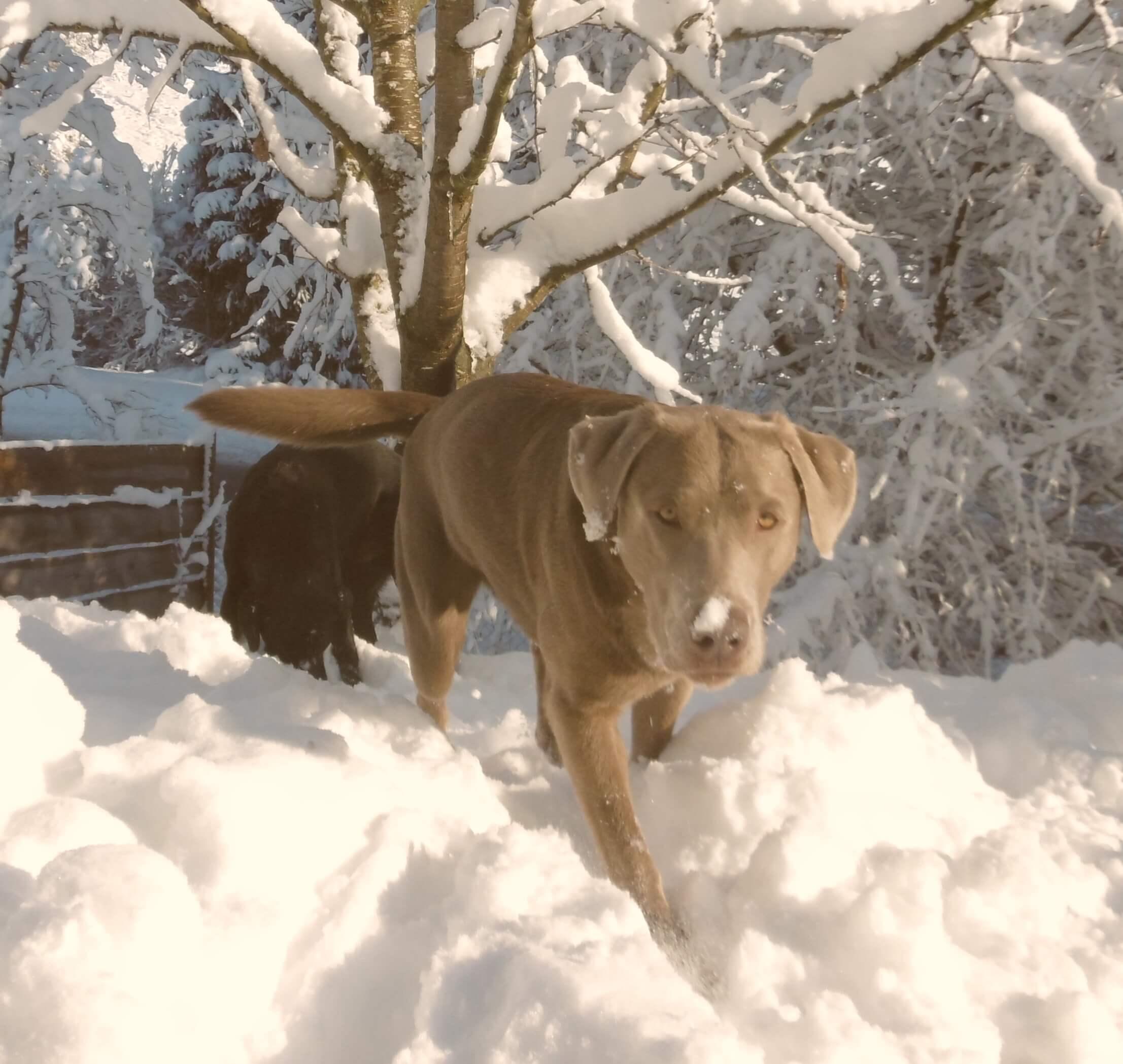 Lucky, silberfarbener Labrador Rüde
